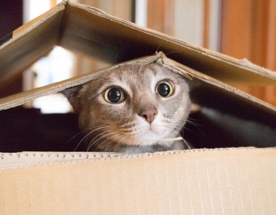 cat In carton